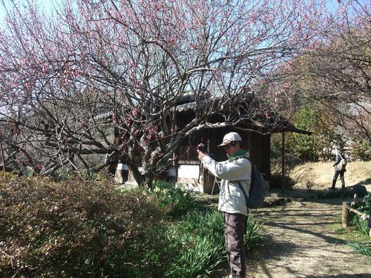 横山さんが緑咢梅を撮影中