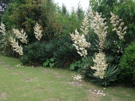 民家の庭に咲くユッカラン