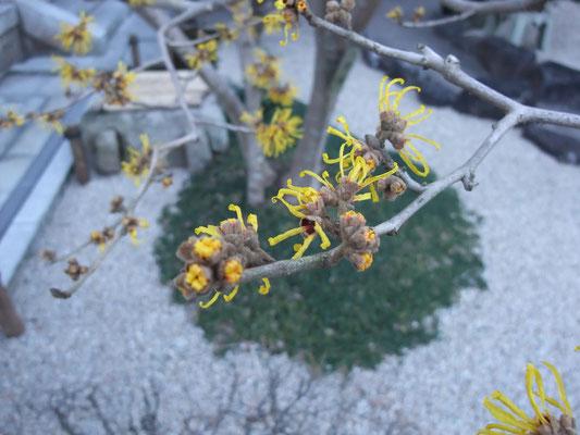 境内に春の兆しのまんさくの花。
