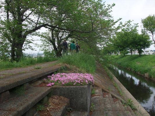 桜並木の渋田川北に