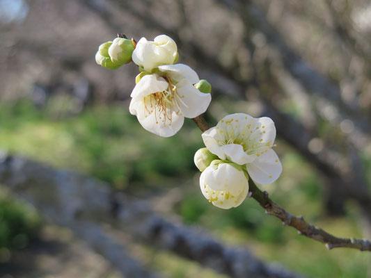 緑咢梅の花