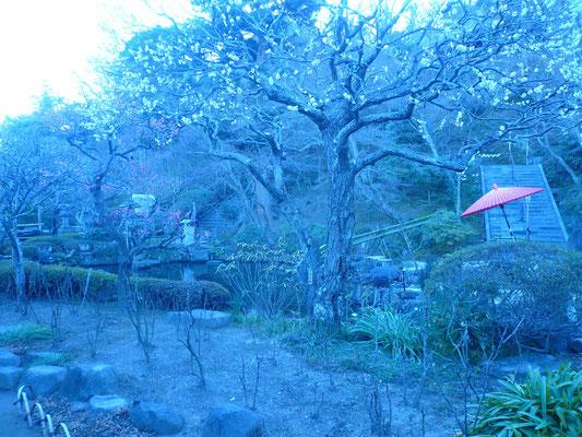 紅白の梅が咲く長谷寺