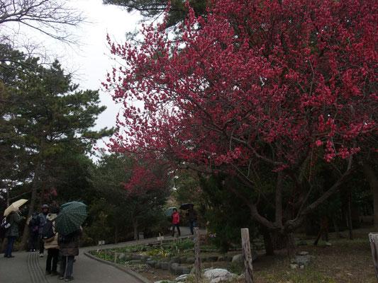 高砂緑地の紅梅