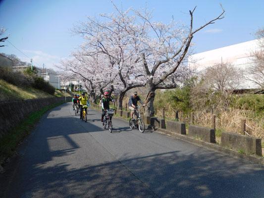 🌸葛川沿いの桜並木🌸
