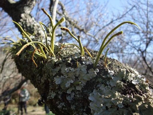 苔生した梅の木肌に着生植物が