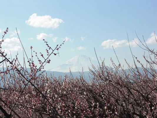「梅林と富士の峰」のコラボ