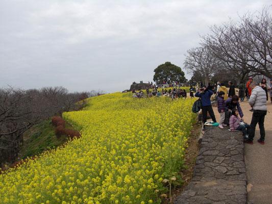 菜の花満開の吾妻山公園