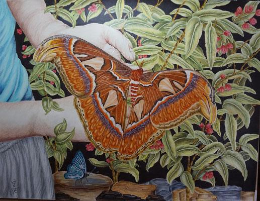 Atlasspinner der größte Schmetterling der Welt; 50x 56cm; Polychromos und Acryl auf Acrylkarton