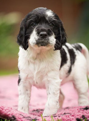 Peppa (Ebony) 5 Wochen