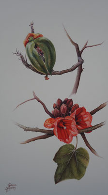 brachychiton viscidulus, Kimberely rose  50x28cm watercolour on board $ 2,280 unframed or $2,500 framed.
