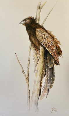 Pheasant Coucal      Watercolour on board      46 x 28cm    Requires Framing     SOLD