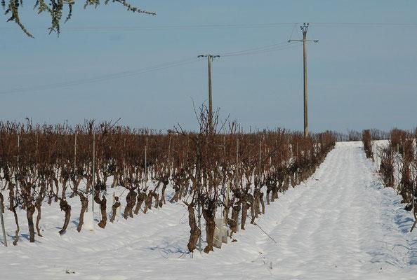 De wijngaarden bereiden zich op een nieuwe lente voor