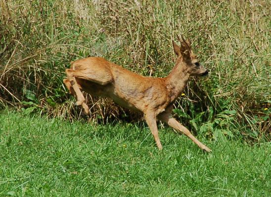 Herten (reeën) lopen regelmatig door de tuin.