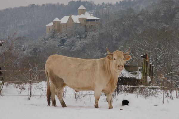 De koeien houden wel van een beetje sneeuw