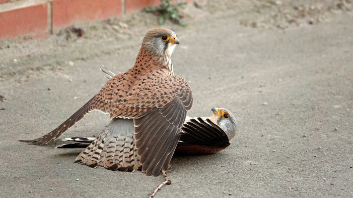 Vogelschutz: Der Turmfalke