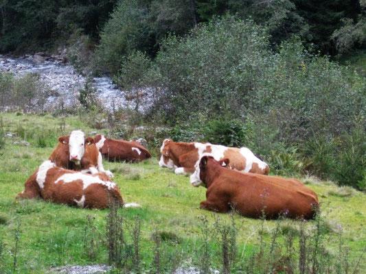 Die Kühe auf den Tiroler-Almen genießen noch immer das saftige Gras