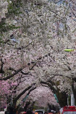 成城北の桜並木