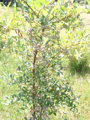 樹木葬地に植えたブルーベリーが実をつけました。