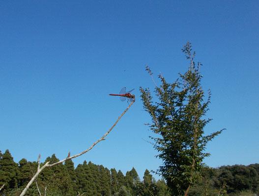 樹木葬地に沢山飛び交うトンボ