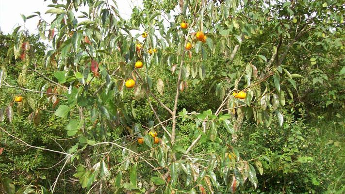 今年の柿はほとんど台風で落ちてしまいましたが、晩生の渋柿だけ残りました。