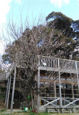 休憩所そばの梅。老木ながら頑張って花を咲かせています。
