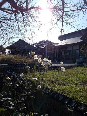 参道を彩る秋明菊