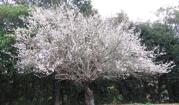 今年の梅は花つきがいいです。梅の収穫が楽しみです。