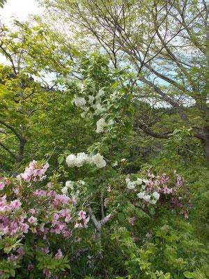 オオデマリの花