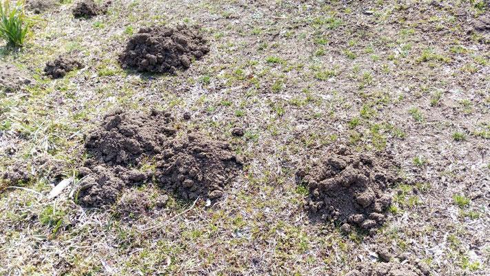 モグラも春の到来を感じているのか、活発に動いているようです。