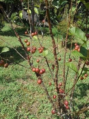 ヒメリンゴの実