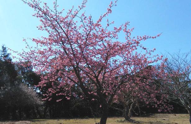早くも彼岸桜が満開です。梅の花と時期を重なるのは珍しいことです。