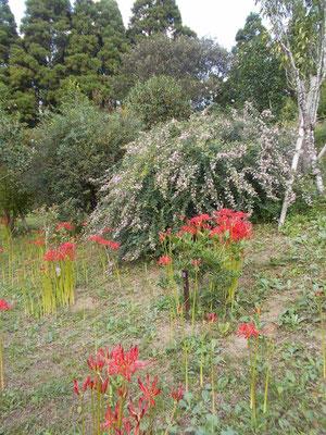 萩の花と彼岸花
