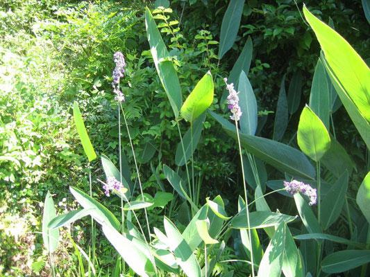 池に咲く水カンナの花