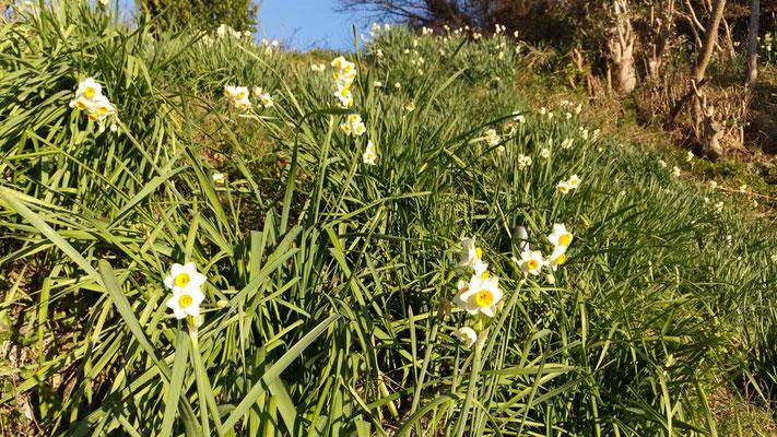 花が少ない中、冬水仙が樹木葬地を彩ってくれています。