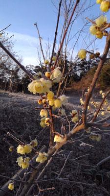 寒い中力強く花を咲かせる黄梅の花