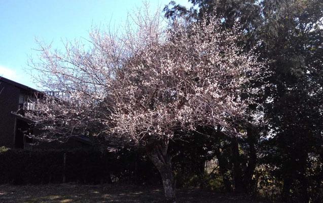 梅が咲きました。春はもうすぐです。