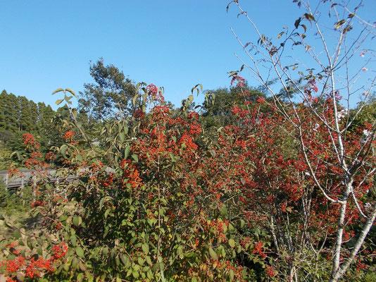 小鳥が運んで樹木葬地以外でもガマズミの木が増えました。