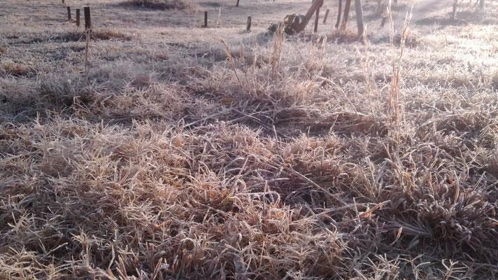 霜で凍る樹木葬地の下草