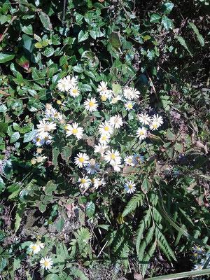 野菊があちこちに咲いています。