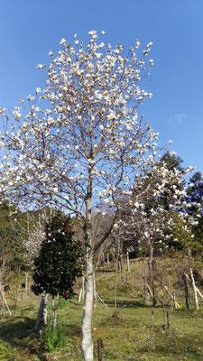 ヒメコブシの木。10年経つものは立派になりました。