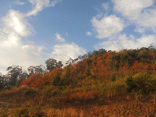 杉山から広葉樹の山に生まれ変わろうとしています。紅葉が美しくなりました。