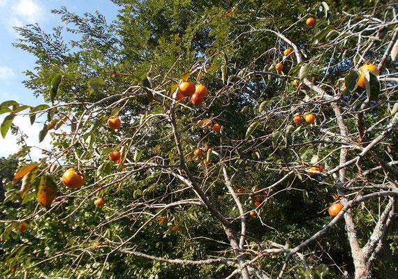 柿は今年は豊作です。枝が重そうに見えるほど実っています。