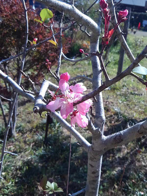 塩害で葉が落ちてしまった為、秋にもハナカイドウが咲きました。