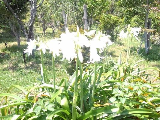 入り口に咲く白い花。