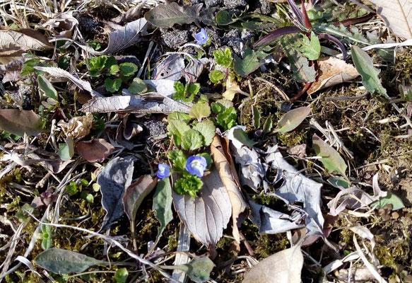 土は早くも春の花が咲き始めました。