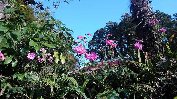 参道に咲く秋明菊