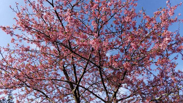 樹木葬入り口近くに咲く彼岸桜。