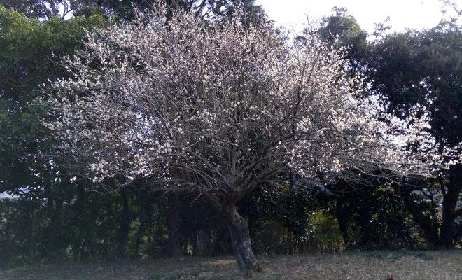 梅は寒さの影響かゆっくりめの満開です。