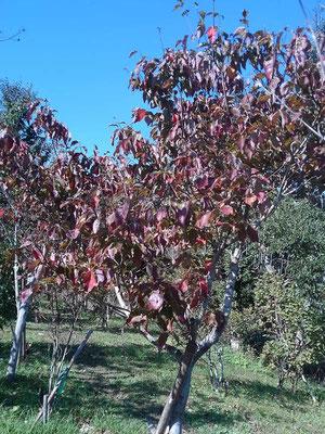今年は台風の塩害で紅葉は望めなそうです。辛うじて残ったハナミズキの紅葉