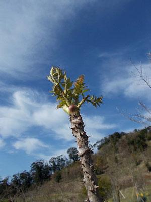 自生するタラの木。精進料理に重宝します。